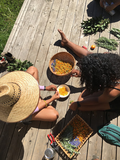 Processing calendula for medicine making.  Photo courtesy of    Dorian Payan