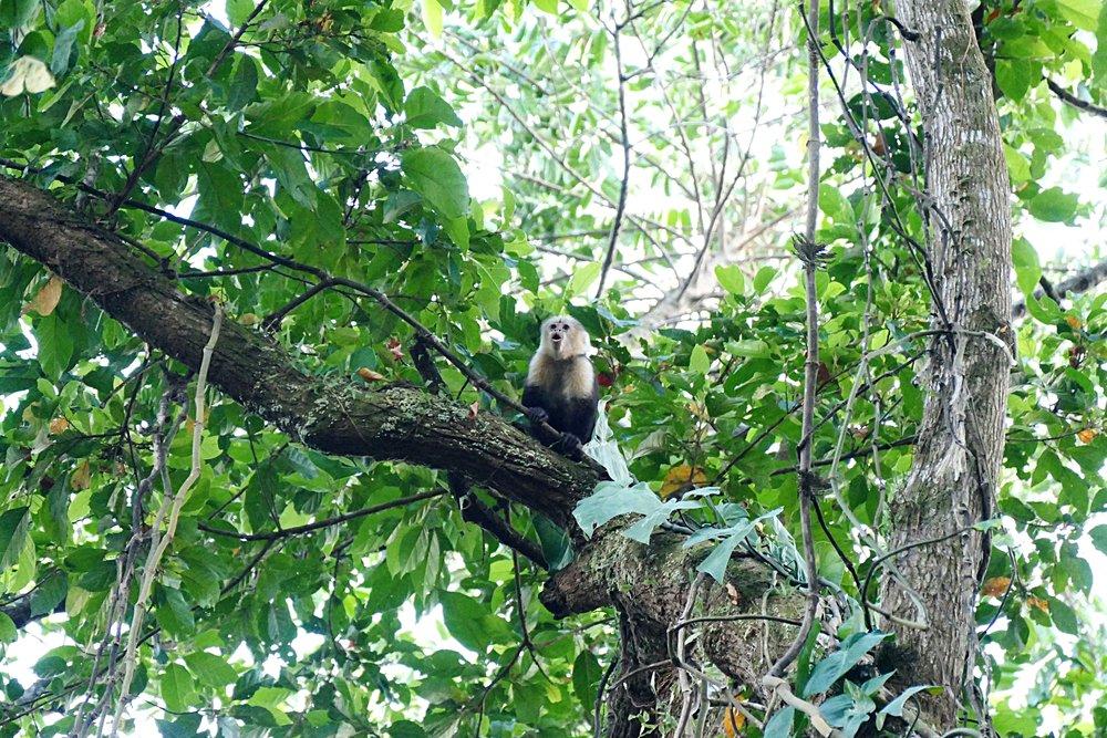 Ce petit singe à tête blanche est un singe capucin !