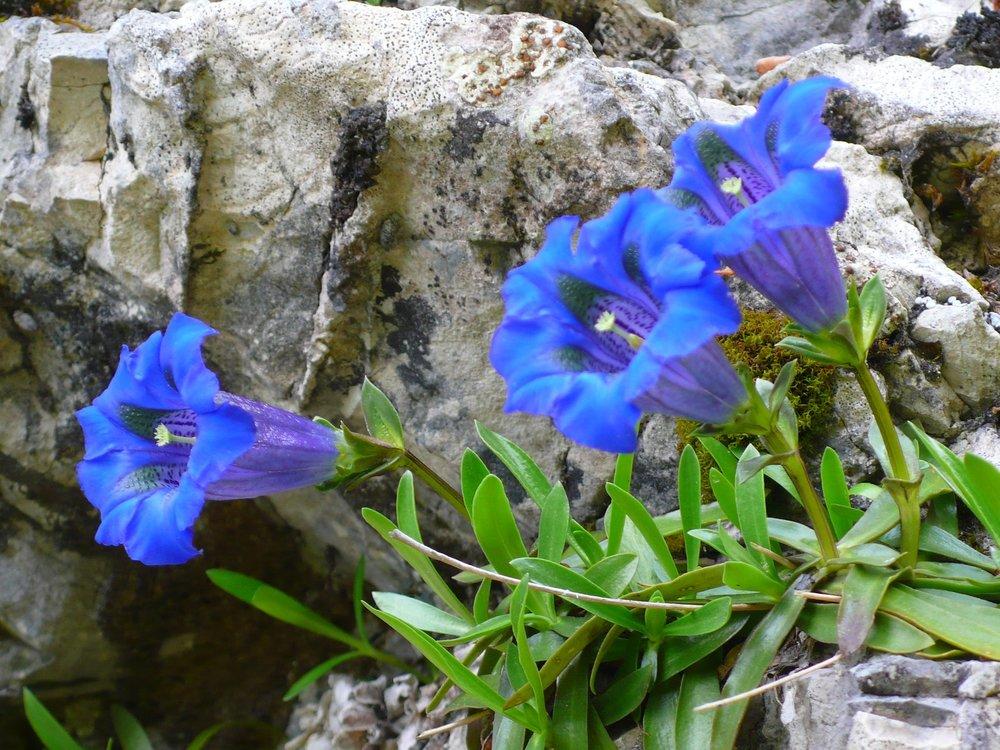 31_Gentiana angustifolia_Grimone.JPG