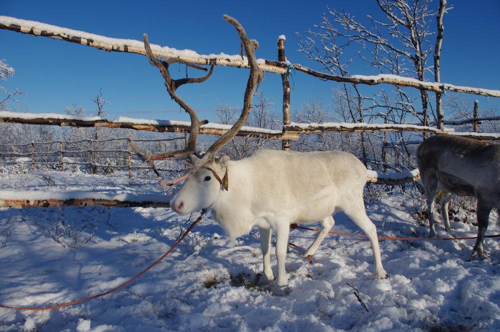 OPPLEV FINNMARK OG SAMISK KULTUR - Ønsker du å få et innblikk i samisk kultur og historie, samtidig som du vil oppleve det frosne landskapet på Finnmarksvidda? Da er dette en tur for deg. Vi tar deg med til Kautokeino.