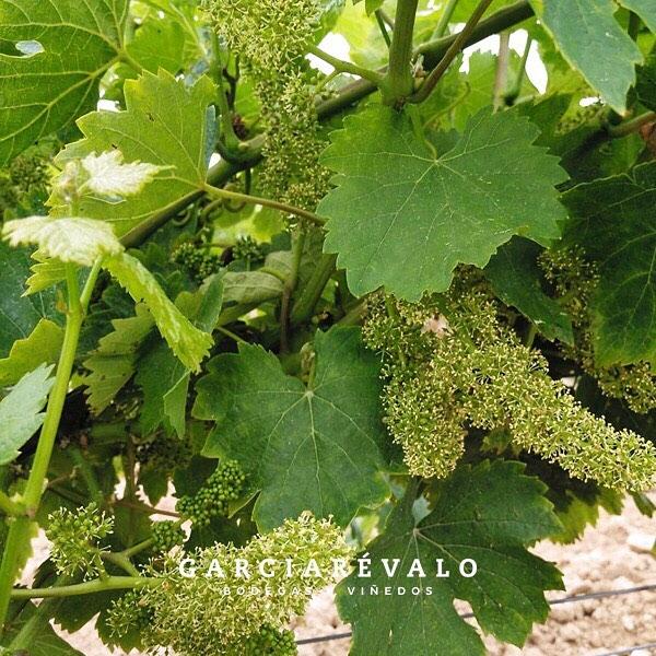 Asistimos al momento de la #floración de nuestros #viñedos, todo va sobre ruedas 😆. #amorporlonuestro #verdejo #dorueda #matapozuelos #spanishwine