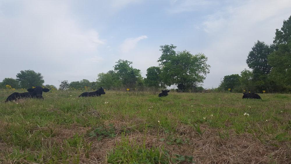 cow9.jpg