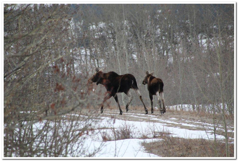 Mama moose and yearling calf