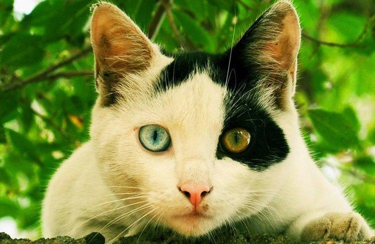 Een voorbeeld van een Odd-eyed kat.