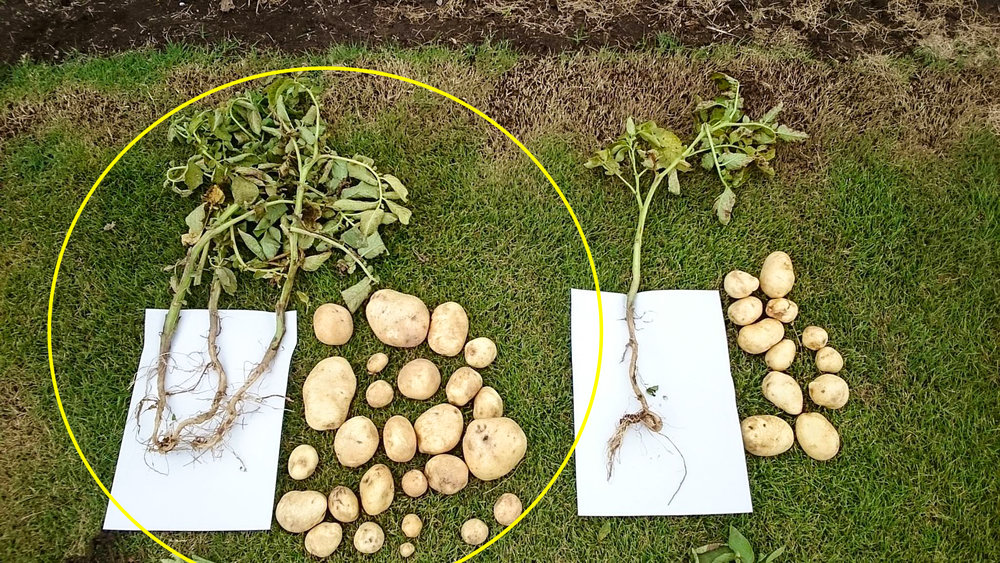 Greatly increased potato yields after 3 months.