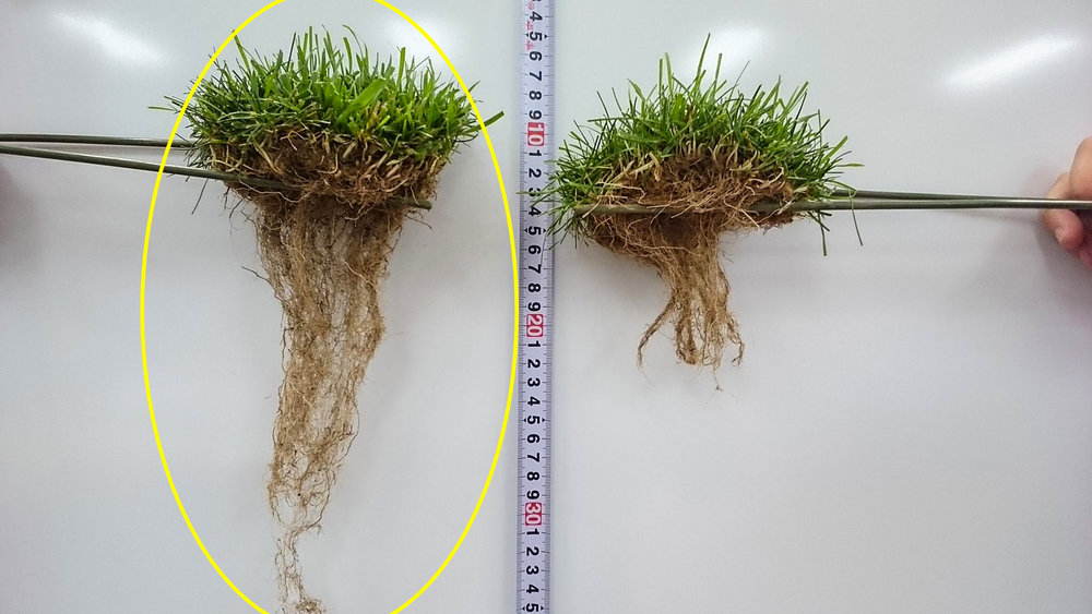 Turf with (left) & without (right) after 3 months