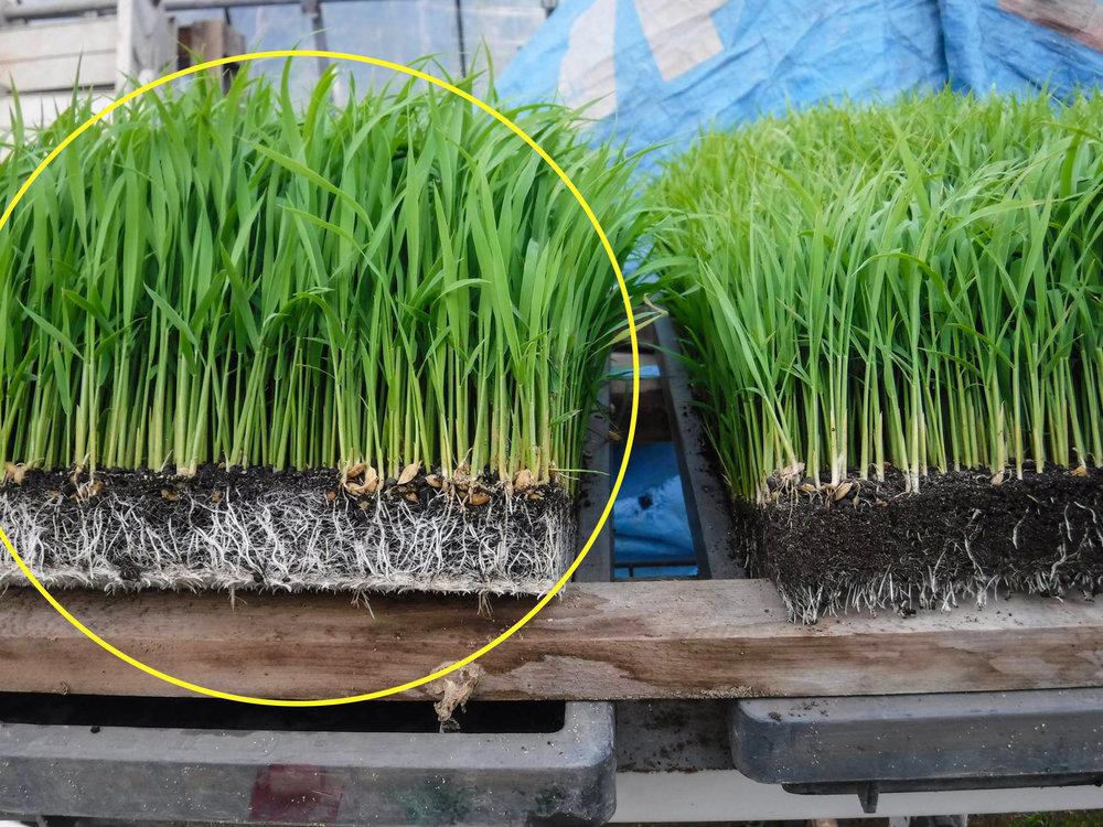 Rice seedlings at 3 weeks