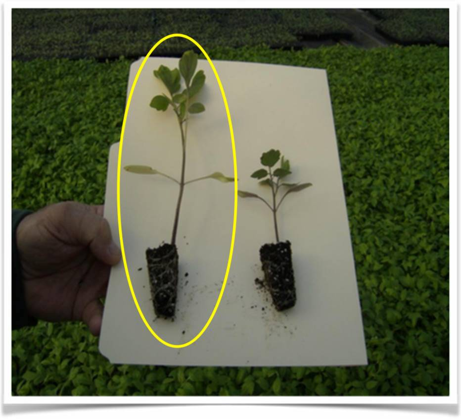 Tomato seedling with (left) & without (right)