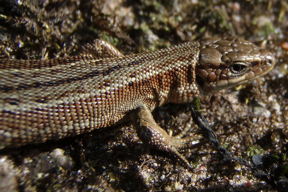 Common lizard 1 copy.JPG