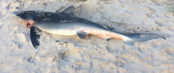 Blue shark on Burghead Beach. The autopsy didn't establish the cause of death. Photo credit: Jillian Blackhurst