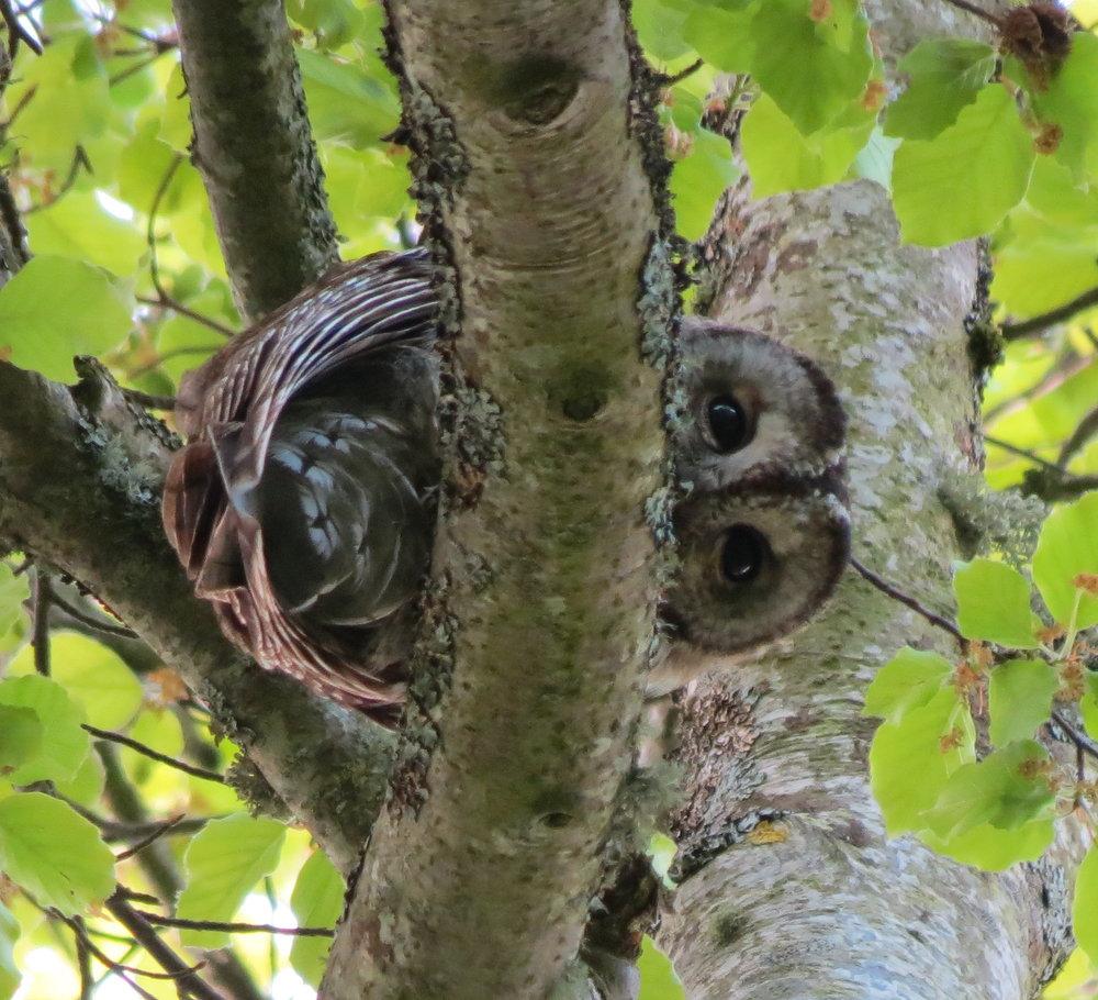 Tawny owl 1.JPG