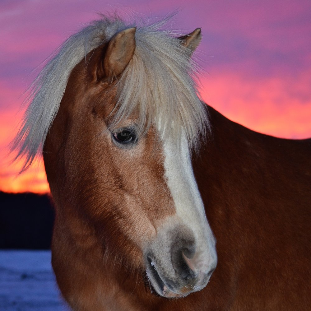 Emma 2003 Haflinger Mare Donated By: Denise Karth