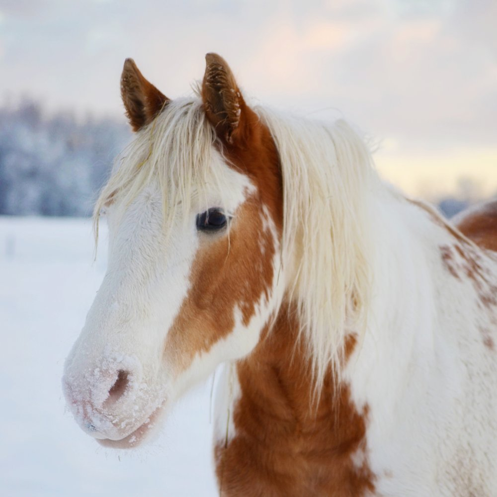 Gunny 2001 Haflinger/Paint Gelding Donated By: Denise Karth