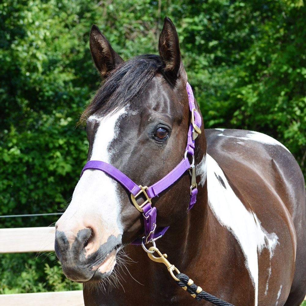 Monte 2006 APHA Gelding Donated By: Betsy Bennett