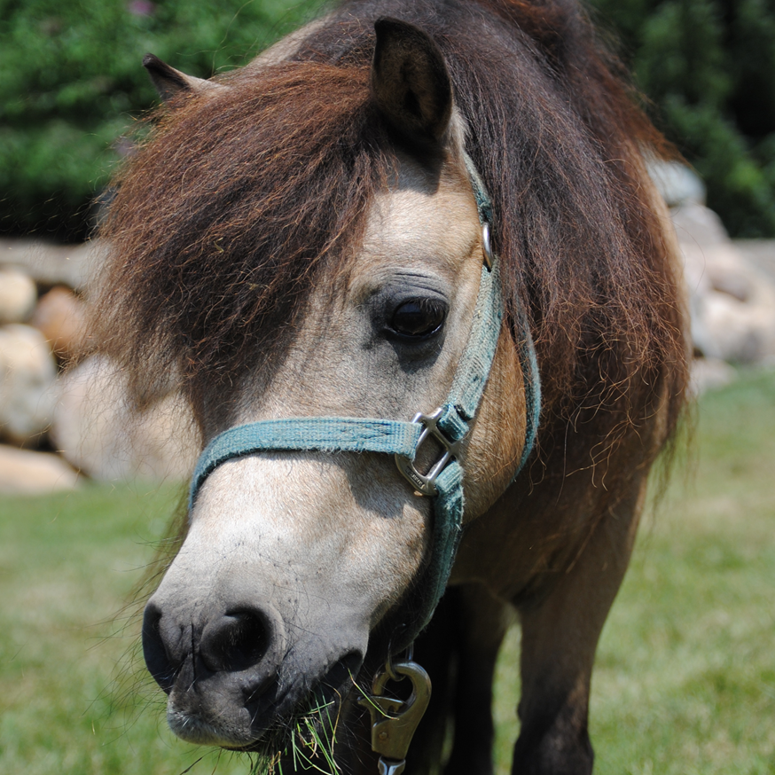 Star 1994 Mini Horse Mare Donated By: Tara East
