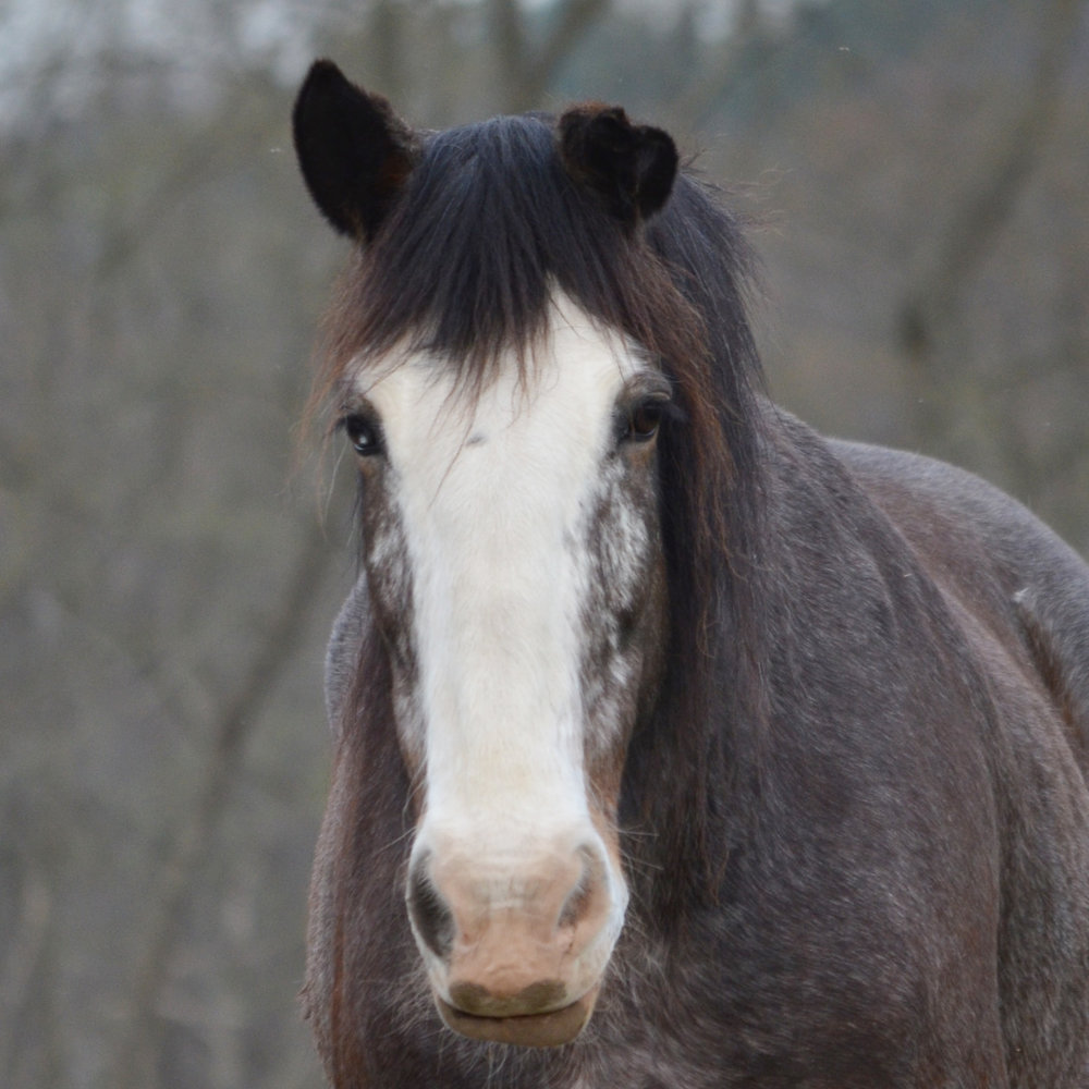 Tess 2004 Clydesdale Mare