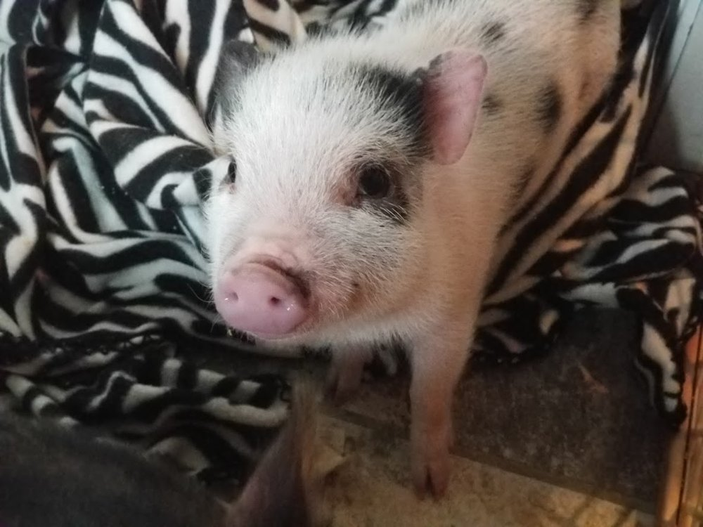 Future Papa Pig!