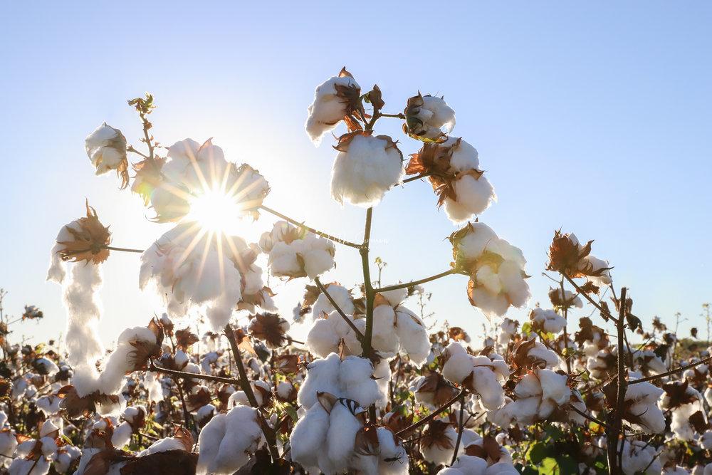 cotton_web.jpg