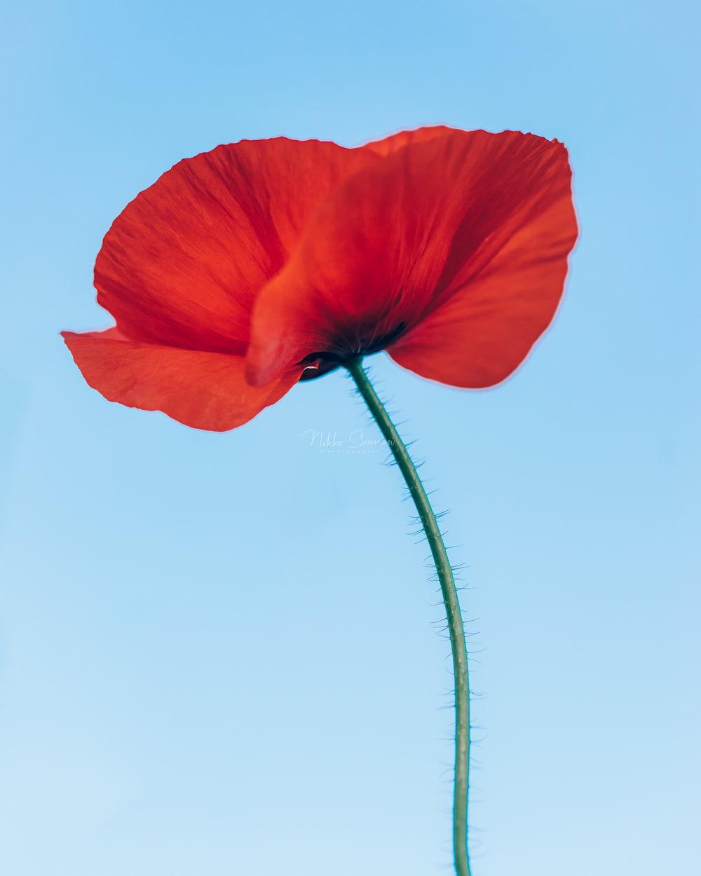 Proud Poppy