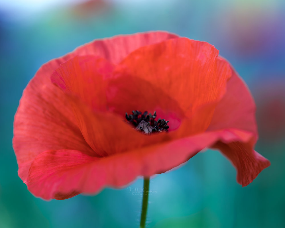 Portrait of a Poppy