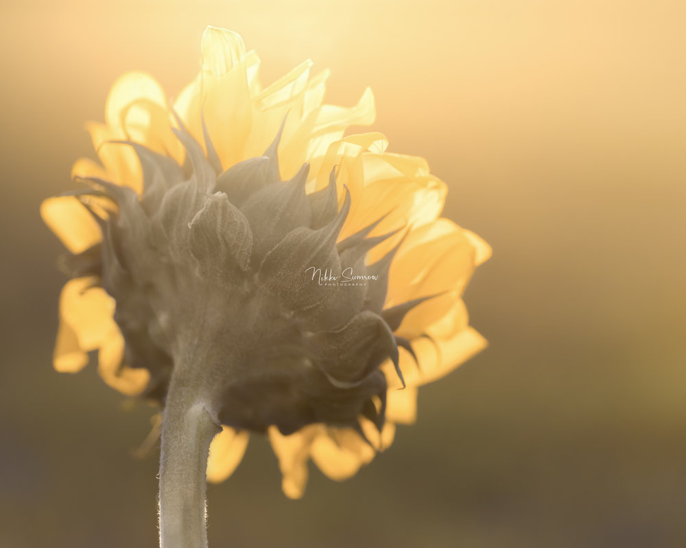 Sunflower Sunshower