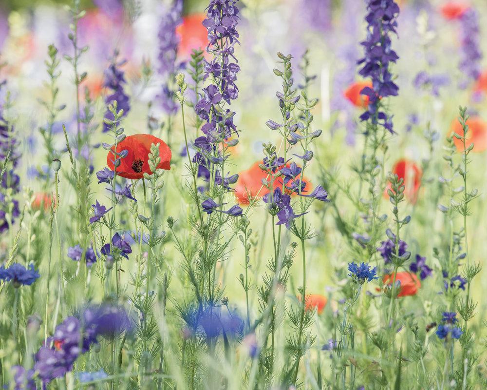 amongthewildflowers_web.jpg