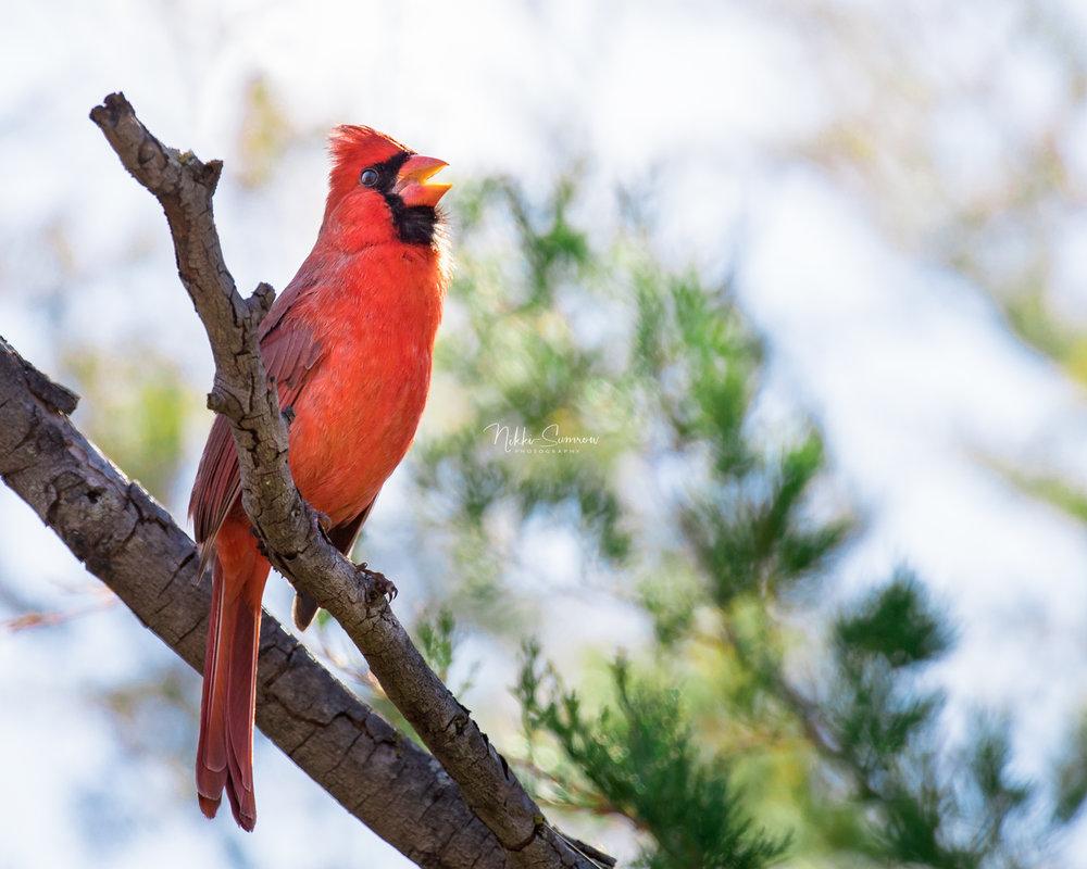 cardinal_web.jpg