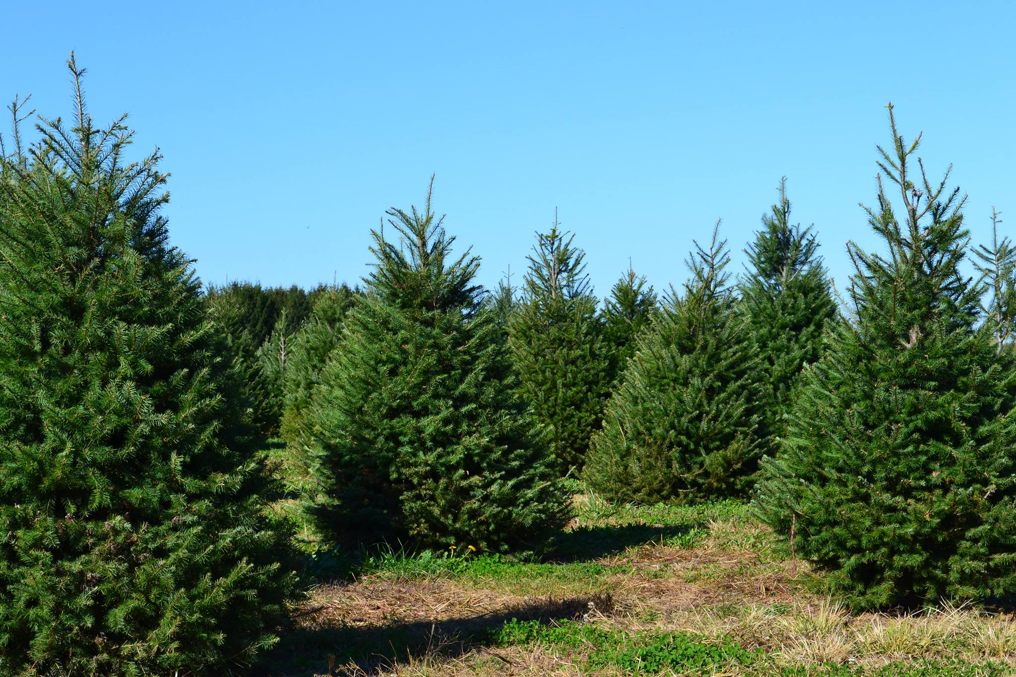trees at santas christmas tree farm cutchogue