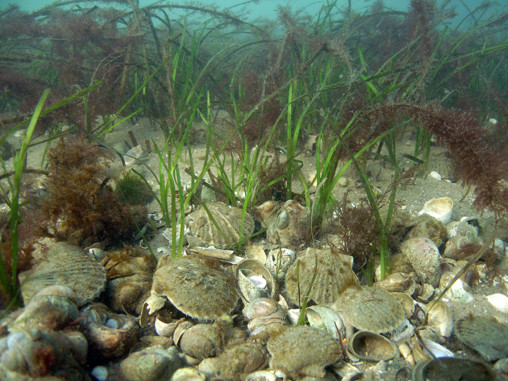 Bay scallops Argopecten irradians,  take residence in local eelgrass meadow.