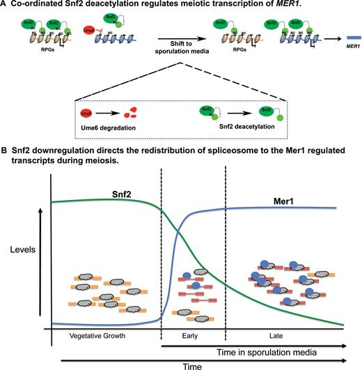 Snf2 regulates meiotic splicing