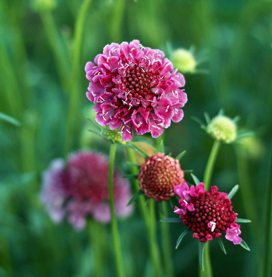 scattered seeds scabiosa.jpg