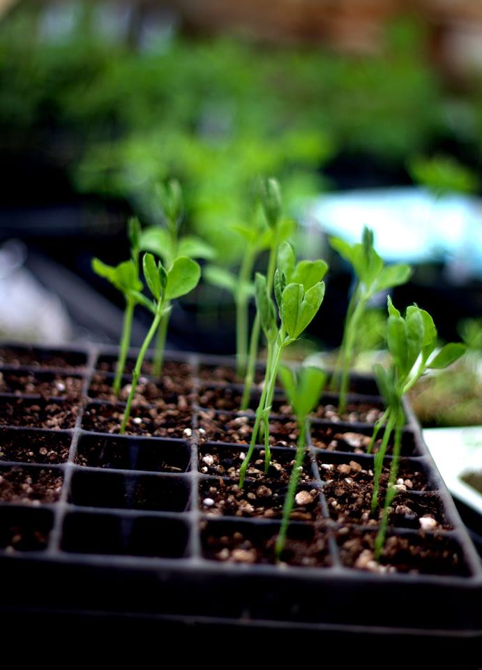scattered seeds sweet pea starts.jpg