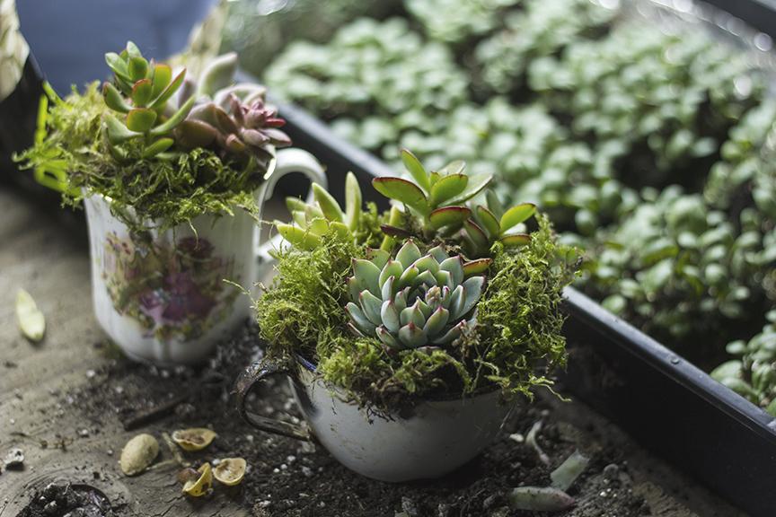 pc_ss_succulent_vintage_tea_cups_echevaria_mother's_dayy.jpg