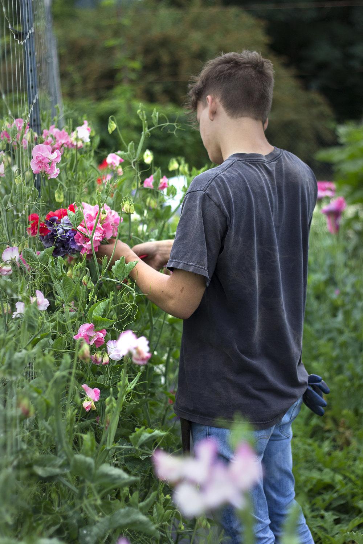 reduced_ss_sweet_peas_jack_cutting_flower_farm.jpg
