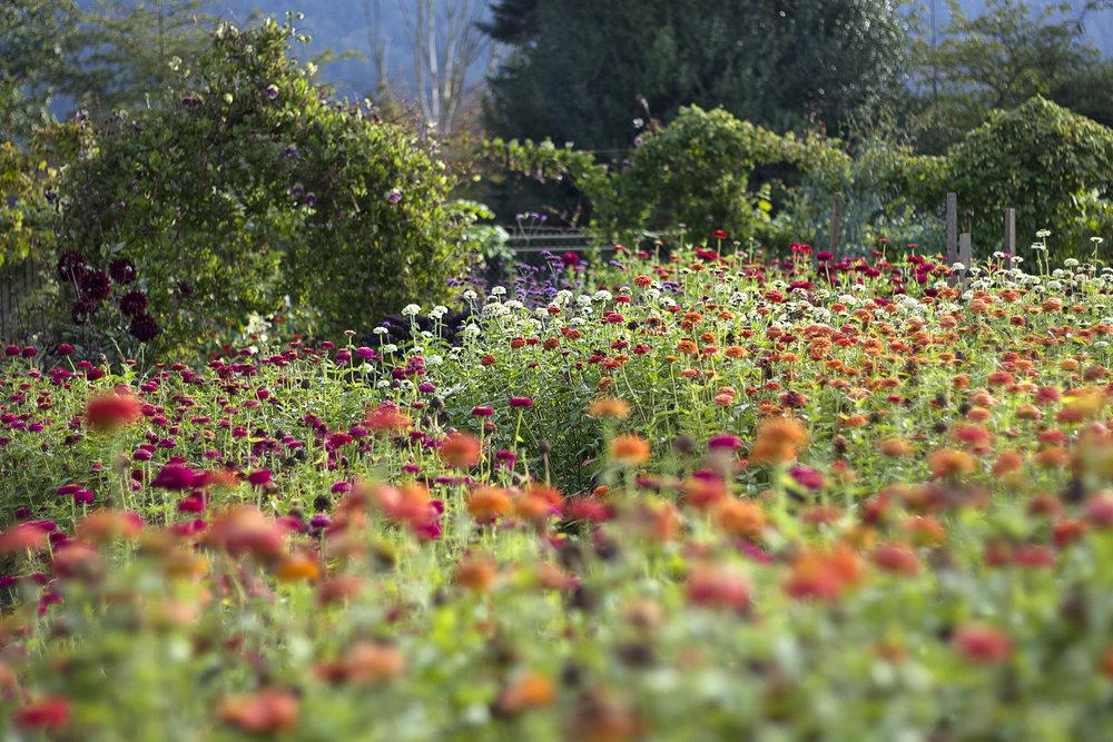 reduced_ss_fall_garden_october_zinnias_gazebo.jpg