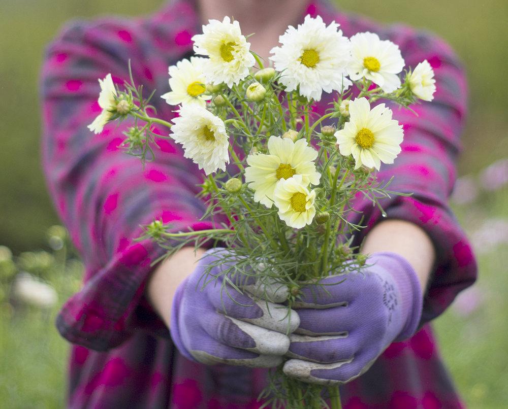 reduced_ss_cosmos_xanthos_cupcake_flower_farm_cut_flowers.jpg