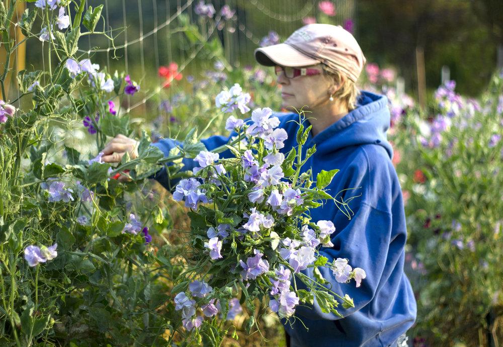 reduced_ss_gwen_cutting_sweet_peas_garden_morning_lavender.jpg