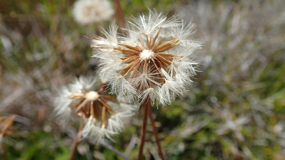 Asteraceae_seeds.jpg
