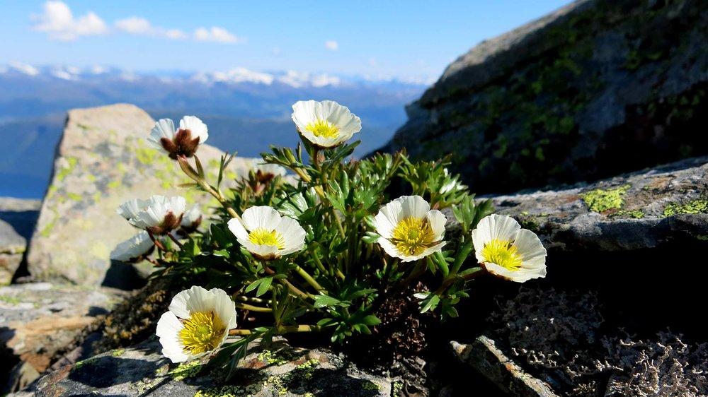I fjella rundt Ålfotbreen treng issoleia mange år på å samle nok næring i røtene til utvikling av blomster og frø.