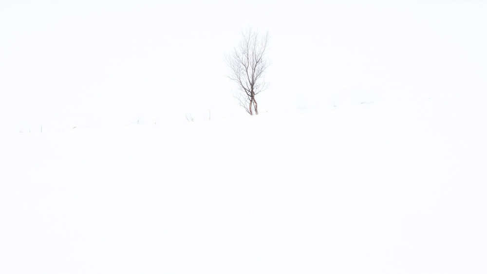 Birch tree, Vareid, Lofoten, Norway, 2016. From the series    Arctic Light