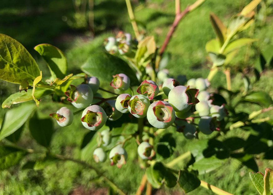 garden blueberries .jpg