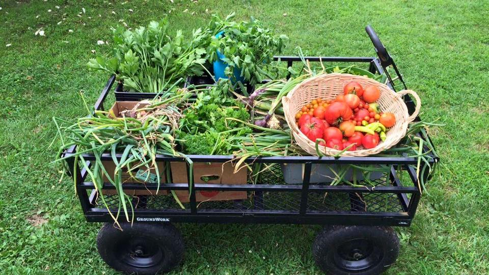 Fresh veggies grown in our garden on their way to the culinary arts shop