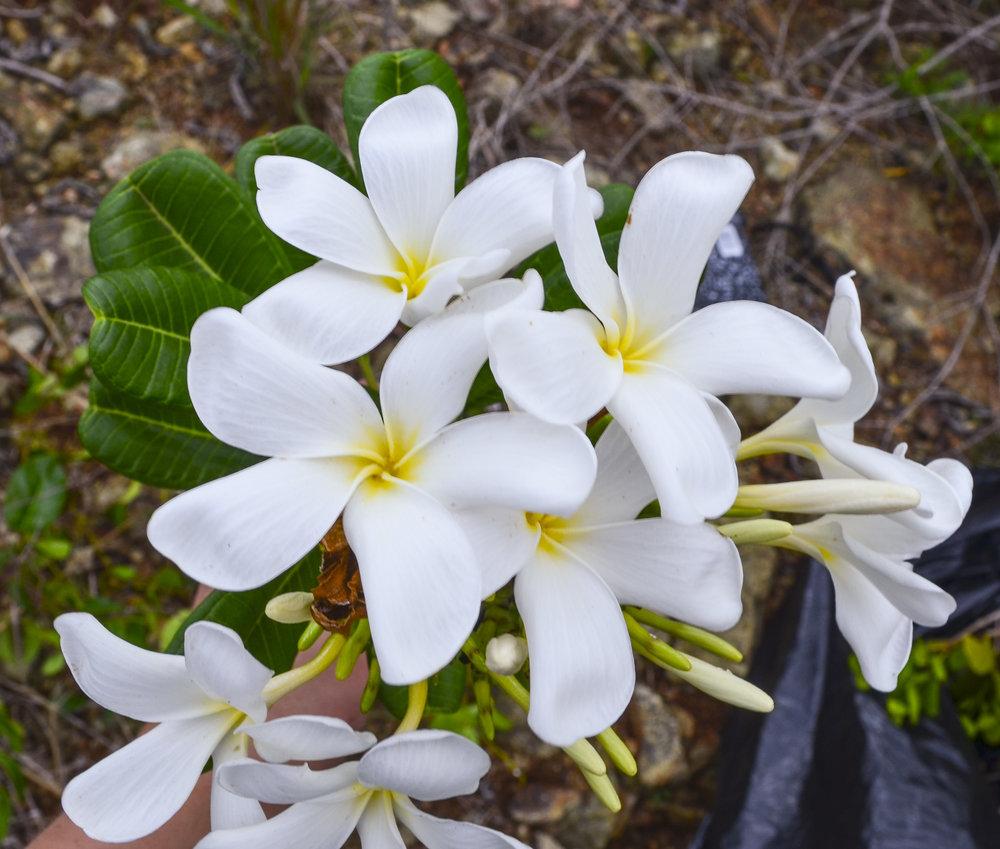 Plumeria tuberculata, Dominican Republic