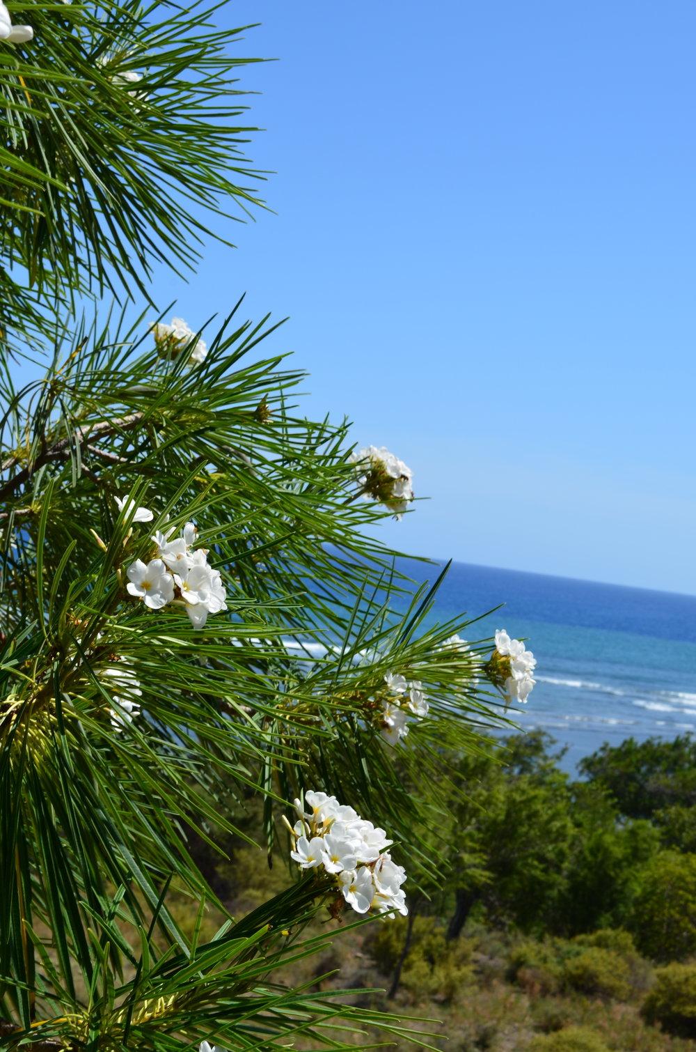 Plumeria stenopetala, Pilon, Cuba