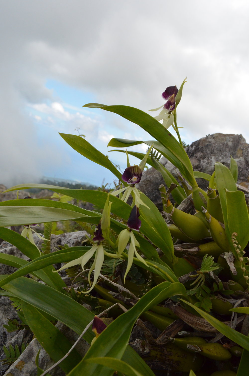 Million Orchid Project (Prosthechea cochleata), Haiti