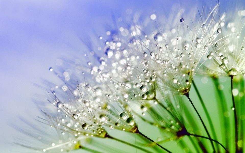 dandelion-843587_960_720.jpg