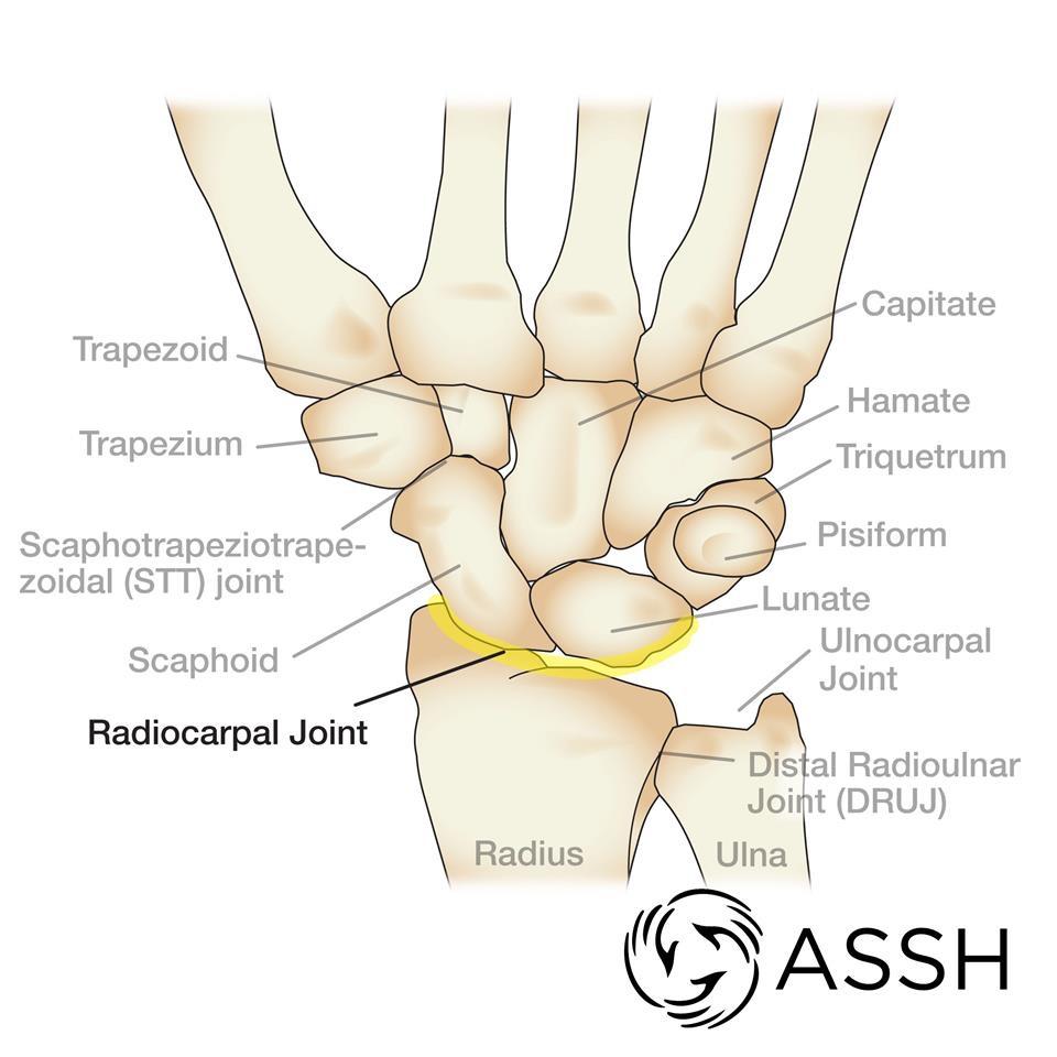 Wrist anatomy ASSH