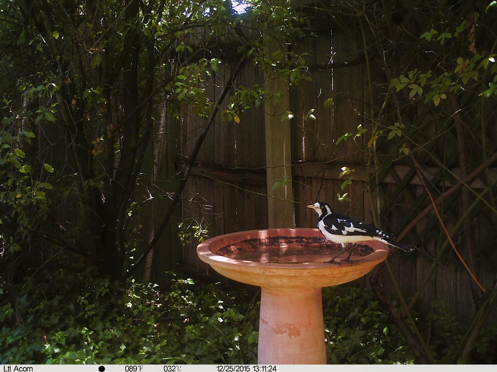 Australian Magpie-Lark (Peewee)