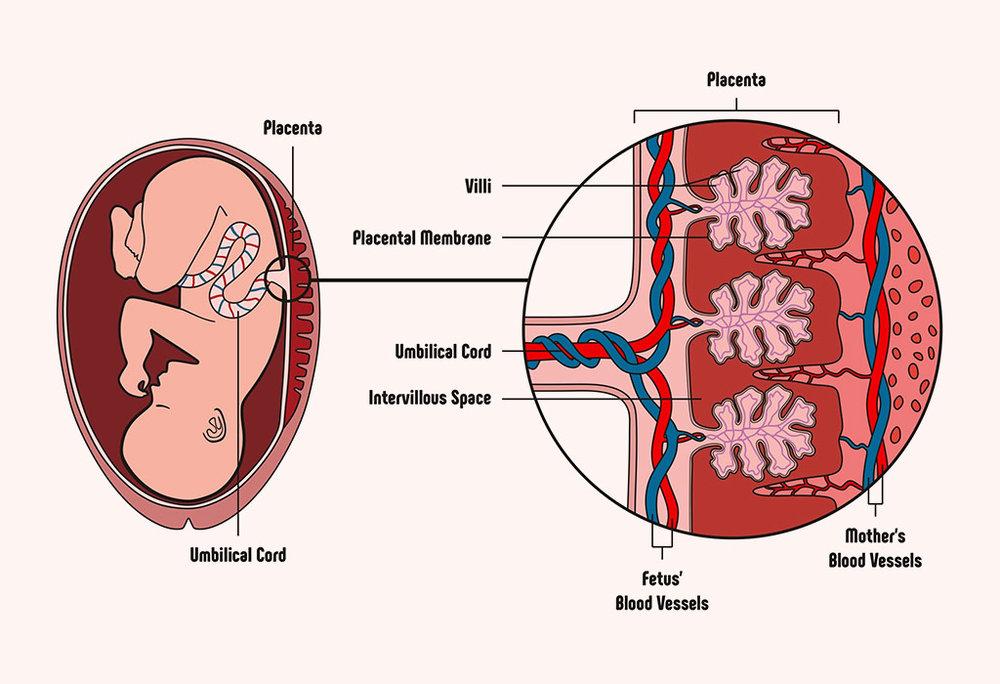 placenta sydney doula