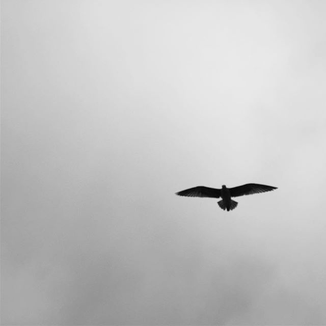 #bird #eagle #blackandwhite #darksky #santamonica #santamonicapier🎡 #picoftheday